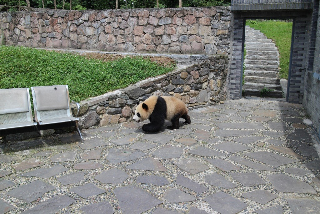 1505 Chengdu klappe panda ut