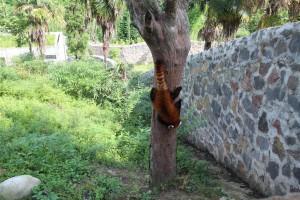 150715 Chengdu rød panda