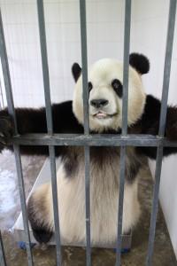 150715 Chengdu smilepanda
