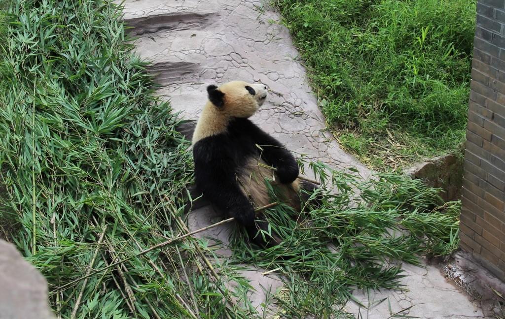 150715 Chengdu utepanda