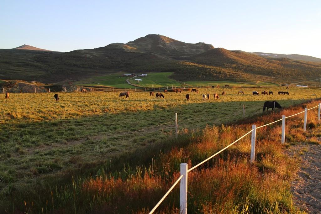 Beitende hester på Kvistli Islandshester